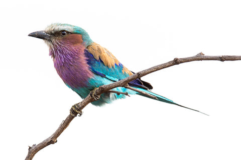 Festival of Colour - African Lilac Breasted Roller