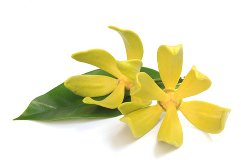 Ylang Ylang is a natural fragrance oil designed to be infused with hair oil to help with dry hair and oily hair.