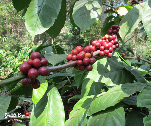 India Origin Coffee_Fruit_Griffiths Bros Coffee