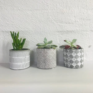 Succulent trio potted