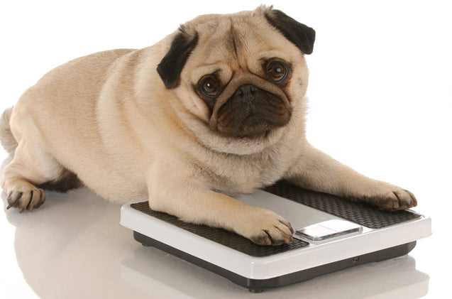 Parts 2 and 3 - Risk factors of canine arthritis AND Obesity as a risk factor in detail