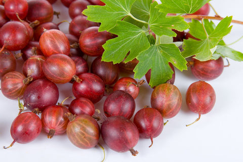 Currant & Gooseberry Plants - Scenic Hill Farm Nursery