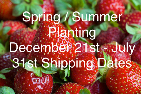 Strawberry Plants - Scenic Hill Farm Nursery