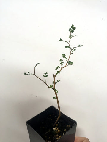Pre-Bonsai Plants- Scenic Hill Farm Nursery