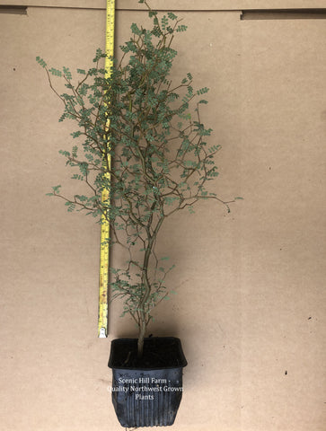 2 Year Old Sophora prostrata Little Baby Pre Bonsai Trees 16- 24 inch Tall - Landscape Specimen Shrub