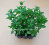 6 pack of spearmint - Scenic Hill Farm Nursery