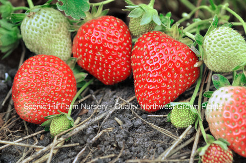 Allstar Strawberries - Scenic Hill Farm Nursery