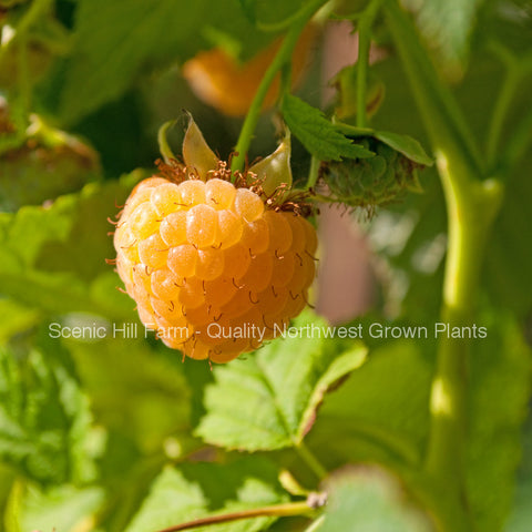 Potted Anne Golden Ever Bearing Raspberry Plants - Large and Sweet Berries