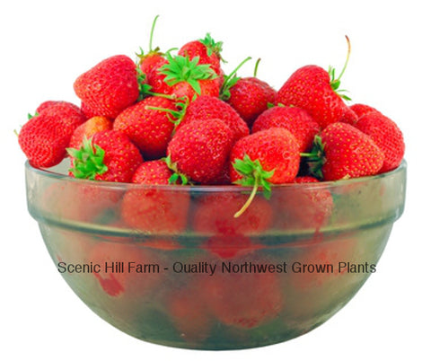 Benton Strawberry Plants - Bare Root - Best Flavor