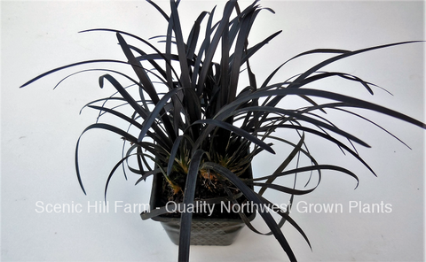 Black Mondo Grass 3.5 inch potted plants - (Ophiopogon planiscapus Nigrescens)