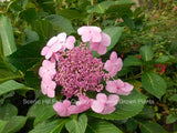 Pink blooms on a Bluebird Lacecap Hydrangea - Scenic Hill Farm Nursery