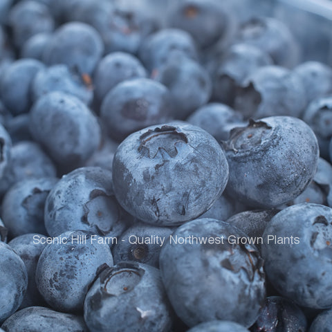 Earliblue Northern Highbush Blueberry Plants -9-16 Inch Tall Potted Plants - State Inspected