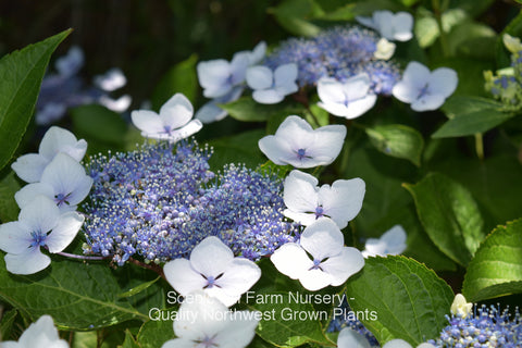 Blue blooms on a Bluebird Lacecap Hydrangea - Scenic Hill Farm Nursery