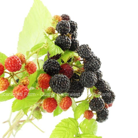 Bristol/Munger Black Raspberries - Scenic Hill Farm Nursery