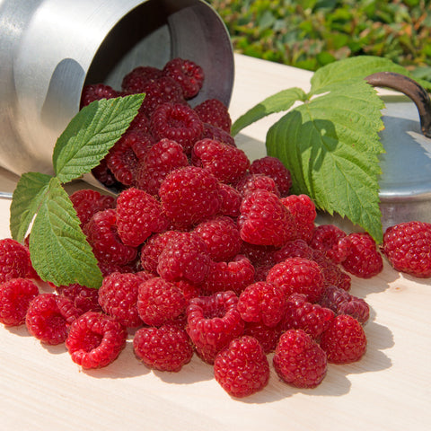 Cascade Delight Red Raspberry- 2 year old Bareroot Canes - Large, Sweet & Firm June Berries