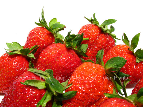 Cavendish Strawberry Plants  - Excellent Winter Hardiness, High Yields - Excellent Flavor