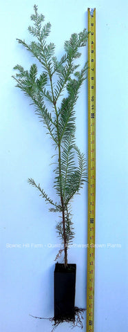 "Coast Redwood Tree 28"" - 36"" Tall - Landscape Tree Screen - (Sequoia Sempervirens)"