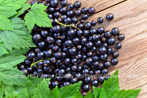 Consort Black Currant Plants- Delicious Black Berries