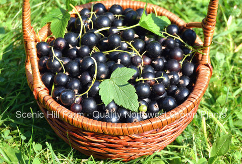Crandall Black Currant Plants- Largest & Sweetest