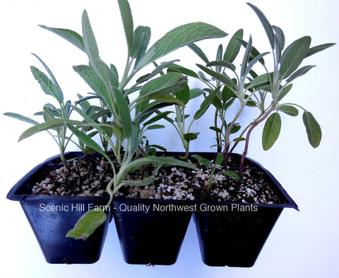 Culinary Garden Sage - Fully Rooted Perennial Plants