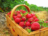 Eclair Strawberry Plants - Extra Sweet and Fragrant Berries