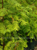 "Dawn Redwood (Metasequoia) Live Potted Tree - 20"" - 28"" Tall"