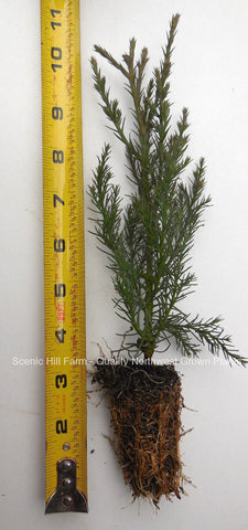 Giant Sequoia Trees- California Redwood - Potted Seedlings