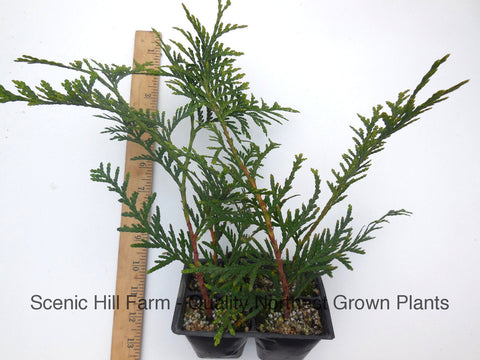 Green Giant Thuja (Cedar Arborvitae) 12- 24 Inches Tall