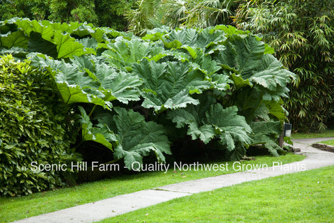 Gunnera Manicata Plants - Live potted Dinosaur Food Plants