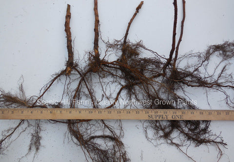 Heritage Raspberry Bare Root Canes - 2 Year Old Size