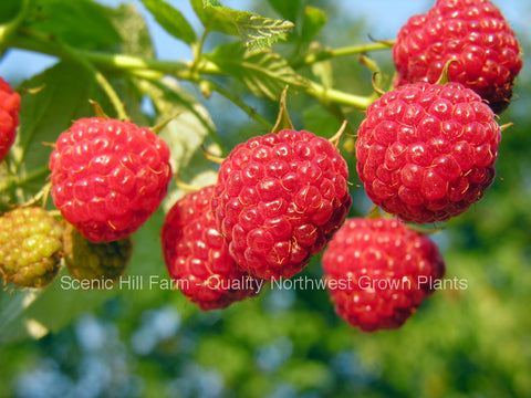 Heritage Raspberries - Scenic Hill Farm Nursery