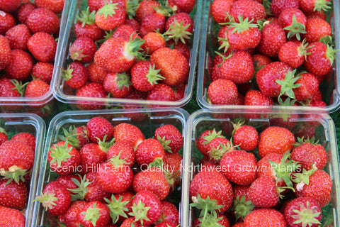 Honeoye Strawberry Plants - Certified Bare Root- High Yields - Sweet
