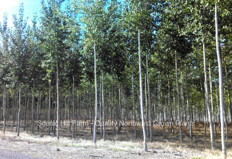 Hybrid Poplar Trees - Scenic Hill Farm Nursery