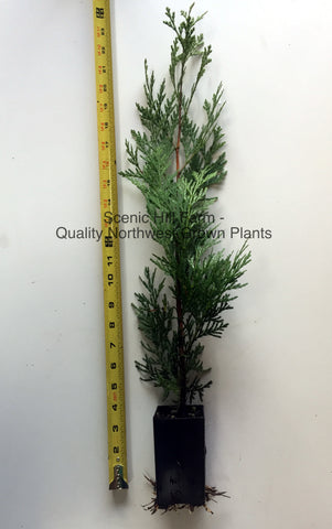 "Incense Cedar Trees Potted in 5"" Deep Band Pot 12"" - 20"" Tall"