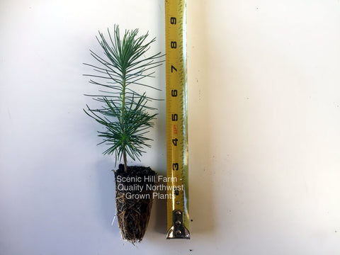"Japanese Black Pine - 8""- 14"" Tall Seedlings - Great Bonsai or Shade Tree"
