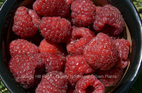 Joan J Thornless Ever Bearing Red Raspberry Bare Root Canes - Huge 2 Year - High Yield - Great Flavor