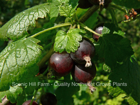 Jostine Plants - Thornless! Black Currant and Gooseberry Cross