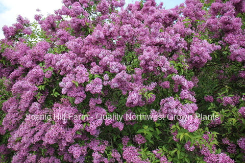 "Potted Purple Old Fashion Lilac Bush - The Most Fragrant Lilac - 20"" - 30"" Tall"