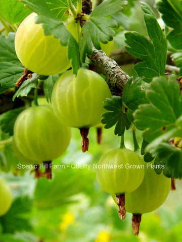 Oregon Champion Gooseberry  - Scenic Hill Farm Nursery