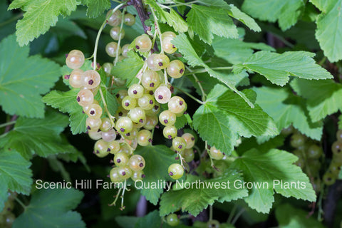 Primus White Currant Plants - Sweetest Berries - Compact Plant - High Yields