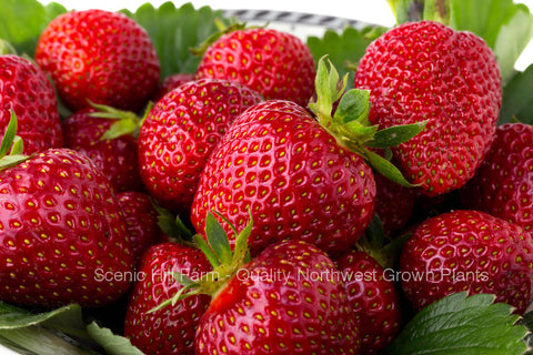 Quinault Ever Bearing Strawberry Plants - Great For Hanging Baskets And Containers