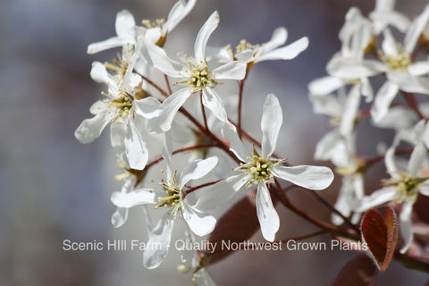 "Serviceberry (Amelanchier alnifolia) Bare Root Plants 12"" - 18"" Tall - Showy Flowers, Tasty Purple Berries"