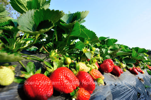 Shuksan Strawberry Plants - Certified Bare Root Plants - Extremely Cold Hardy