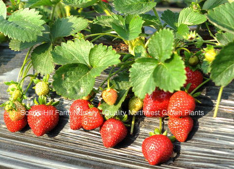 Sweet Sunrise Strawberries - Scenic Hill Farm Nursery