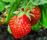 Totem Mid Season Bare Root Strawberry Plants - High Yields - Great Flavor
