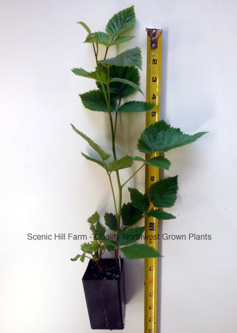 2 Year Old Triple Crown Thornless Blackberry Plants - Scenic Hill Farm Nursery
