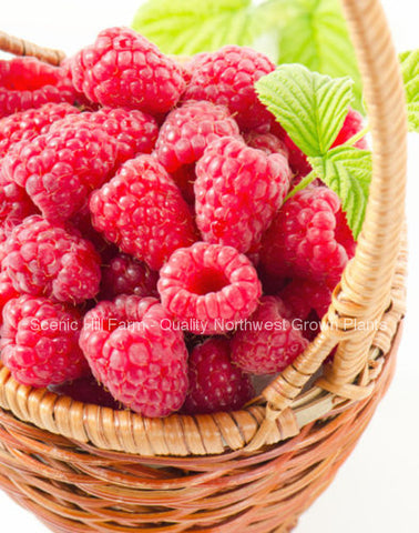 Potted Tulameen Raspberry Plants - Large, Sweet & Firm Summer Berries