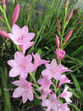 Watsonia Corms- Gladiola's Low Care Cousin- Cut Flower/Rare Blooming Perennial
