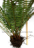 Western Sword Fern, (Polystichum Munitum) - Extra Large Mature Live Plants, Huge Roots