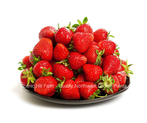 Albion  Ever Bearing Strawberries - Scenic Hill Farm Nursery
